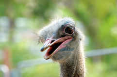 Ostrich portrait Royalty Free Stock Image