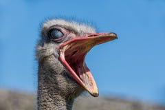 Ostrich Portrait stockfotografie