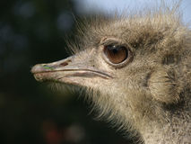Ostrich portrait. Young ostrich portrait and trees royalty free stock photos