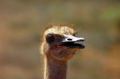 Ostrich head portrait Stock Photo