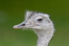 Ostrich portrait. On green background Stock Images
