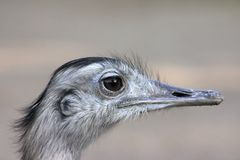 Ostrich portrait. Portrait of an ostrich with a blurry background Stock Photos
