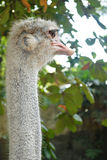 Ostrich Portrait Stock Photography