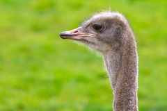 Ostrich portrait Royalty Free Stock Photography