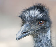 Ostrich portrait. Focus on the left eye Stock Images