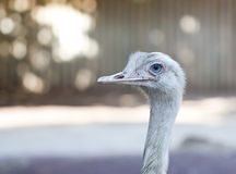 Ostrich portrait. With blue eyes, intentionally blurred background Stock Images