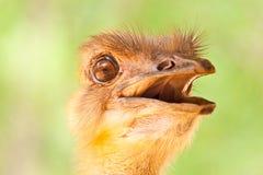 Ostrich Portrait Stock Photography