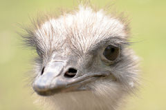 The ostrich portrait. Royalty Free Stock Photos