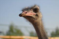 Ostrich portrait Stock Image