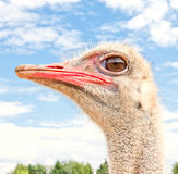 Ostrich portrait Stock Images