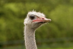 Ostrich Portrait. Portrait image of an ostrich Royalty Free Stock Photos