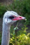 Ostrich portrait Stock Photos