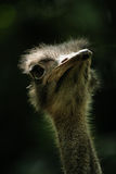 Ostrich Portrait Royalty Free Stock Photos