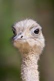 Ostrich Portrait Stockfoto
