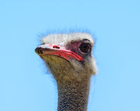 Ostrich Portrait Lizenzfreie Stockbilder