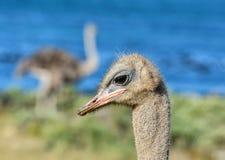 Ostrich Portrait Stockfotos