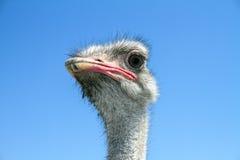 Ostrich Portrait Lizenzfreies Stockbild
