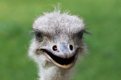 Ostrich portrait africa Stock Image