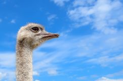 Ostrich portrait on background of blue sky. The head of an African ostrich close up.  royalty free stock images
