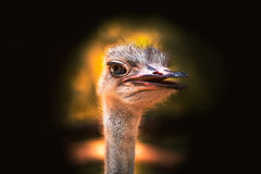 Ostrich portrait. Beautiful female ostrich portrait with eyelashes in black backgrounds Royalty Free Stock Photos