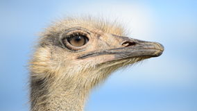 Ostrich. stock video footage
