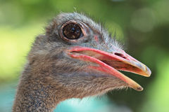 Ostrich portrait close up Royalty Free Stock Photos