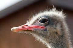 Ostrich portrait close-up on a dark background. In the farm Royalty Free Stock Images