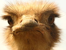Ostrich portrait. Close-up of its head Royalty Free Stock Photography