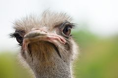 Ostrich portrait close-up. Sharpen on eyes. Shot made in reservation national park Askania Nova, Ukraine Royalty Free Stock Photo