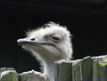 Ostrich portrait close up [Struthio camelus]. Ostrich portrait close up..Struthio camelus royalty free stock images