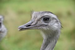 Ostrich portrait. Looking straight with big eyebrowns Royalty Free Stock Photography