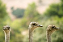 Ostrich portrait outdoor forest green trees Royalty Free Stock Image