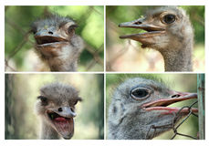 Ostrich. 4 portrait photos for an ostrich Royalty Free Stock Photos