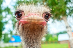 Ostrich. Portrait of an ostrich in sunny day Royalty Free Stock Photography