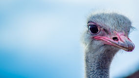 Ostrich. Portrait of ostrich in the zoo Royalty Free Stock Photography