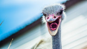 Ostrich. Portrait of ostrich in the zoo Royalty Free Stock Images