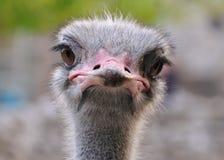 Ostrich portret Royalty-vrije Stock Foto