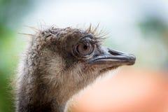 Ostrich portret Royalty-vrije Stock Foto's