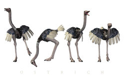Ostrich poses Stock Photography