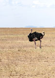 Ostrich. On the prairies of Tanzania, is an image vertical Stock Photos