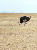 Ostrich. On the prairies of Tanzania, is an image vertical Royalty Free Stock Image