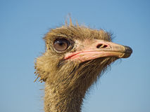 Ostrich profile royalty free stock photos