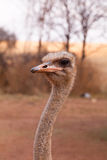Ostrich profile portrait Royalty Free Stock Photo