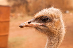Ostrich profile portrait Stock Photography