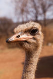 Ostrich profile portrait Royalty Free Stock Photos