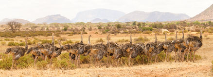 Ostrich promenade Stock Photography