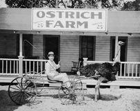 Ostrich pulling man in cart on ostrich farm. (All persons depicted are no longer living and no estate exists. Supplier grants that there will be no model Royalty Free Stock Photo