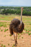 Ostrich Ranch Stock Photos