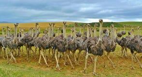 Ostrich, Ratite, Flightless Bird, Bird Royalty Free Stock Photo