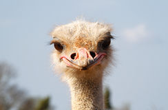 Ostrich 010 Stock Images